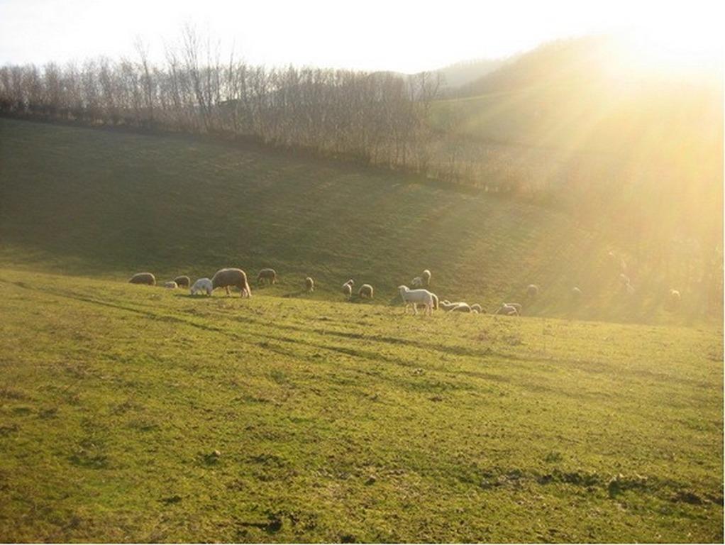 Овце на испаши